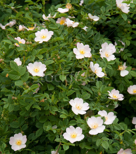 dog rose Stock photo © prill