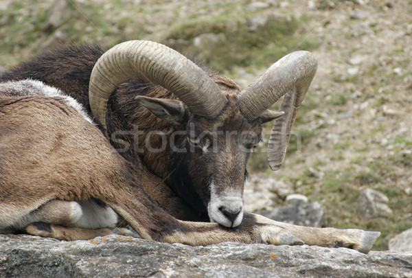 mouflon resting on rock formation Stock photo © prill