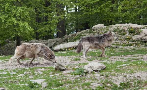 Gray Wolves near forest Stock photo © prill