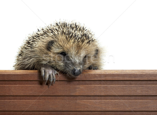 hedgehog and wooden panel Stock photo © prill