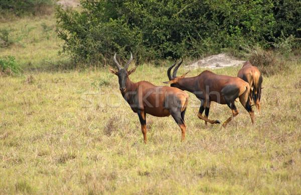 Uganda sabana África hierba naturaleza animales Foto stock © prill
