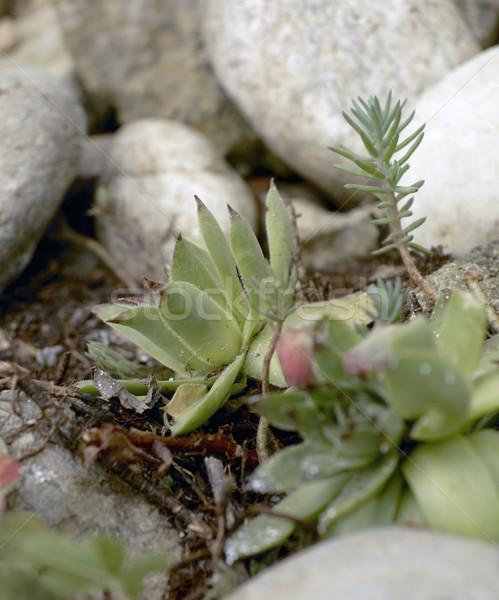 ジューシーな 詳細 砂利 植物 石 石 ストックフォト © prill