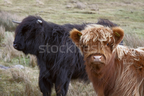 brown and black Highland cattle Stock photo © prill