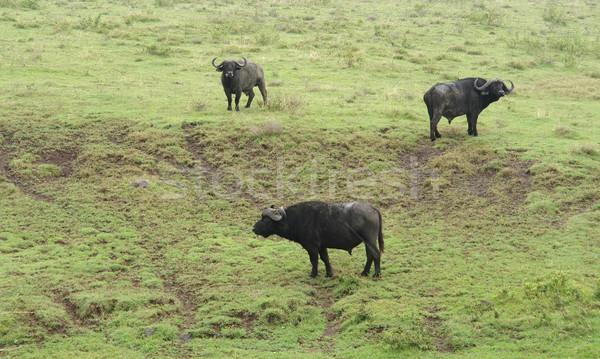 three cape Buffalos in grassy back Stock photo © prill