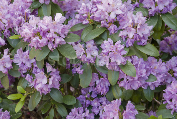 Rhododendron Stock photo © prill