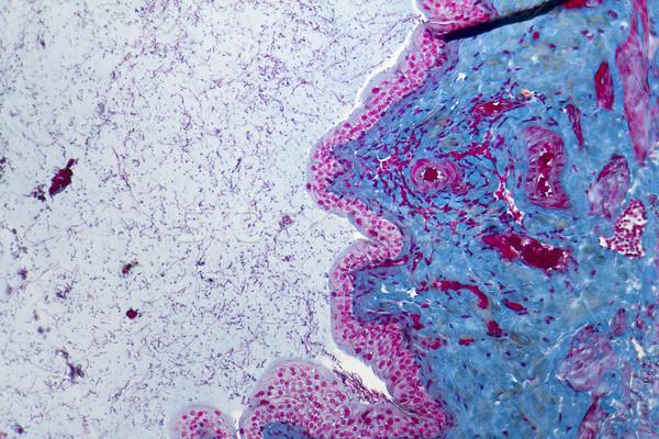 мочевой пузырь подробность медицина шаблон крыса Сток-фото © prill