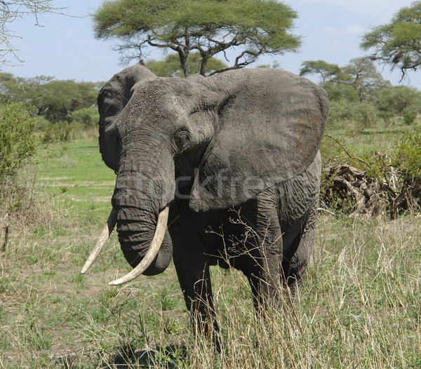 savannah scenery with african Elephant Stock photo © prill