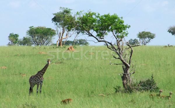 Giraffe in african savannah Stock photo © prill