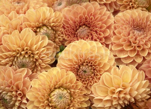 Dalia kwiaty pomarańczowy kwiat środowisk Zdjęcia stock © prill