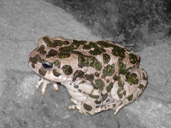 European Green Toad Stock photo © prill