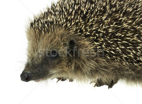 hedgehog portrait Stock photo © prill