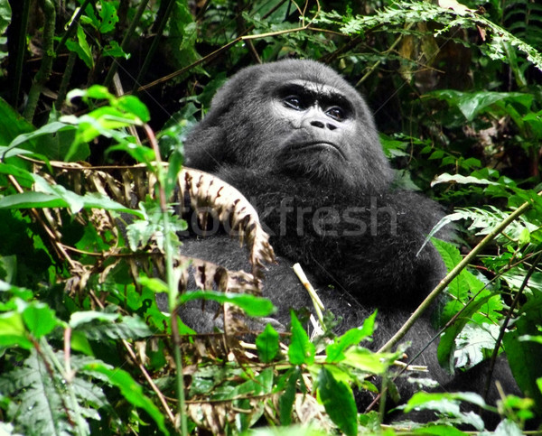 Gorilla in the jungle Stock photo © prill