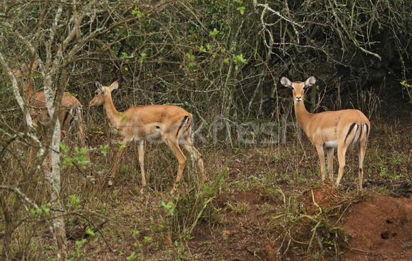Uganda Afrika növényzet természet növény bokor Stock fotó © prill