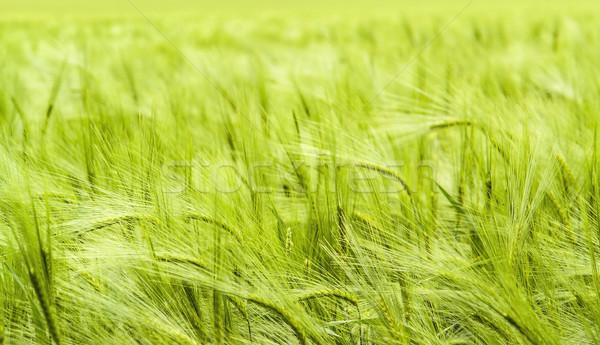 Gerst veld detail full frame groene Stockfoto © prill