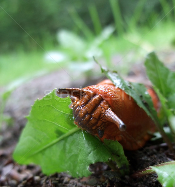 Rood naaktslak eten groen blad bos Stockfoto © prill
