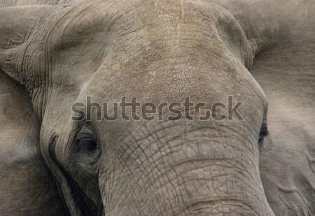 頭 詳細 フルフレーム 象 ウガンダ アフリカ ストックフォト © prill