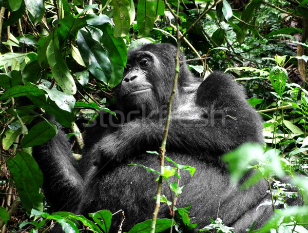 Gorilla verde vegetazione montagna nube foresta Foto d'archivio © prill