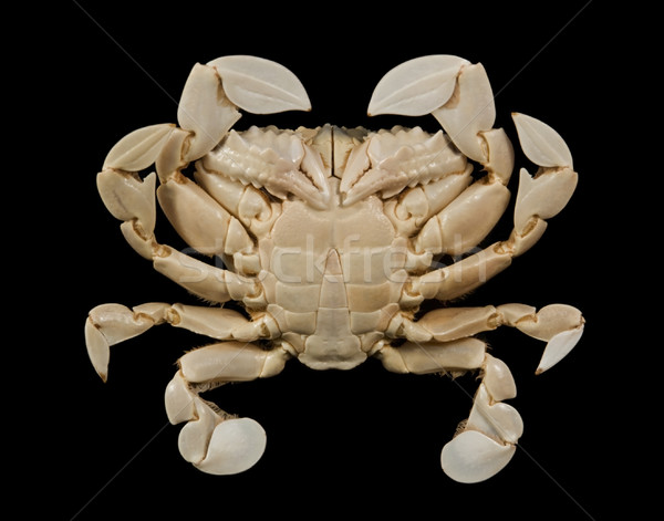 underside of a moon crab Stock photo © prill