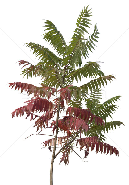 little staghorn sumac tree Stock photo © prill