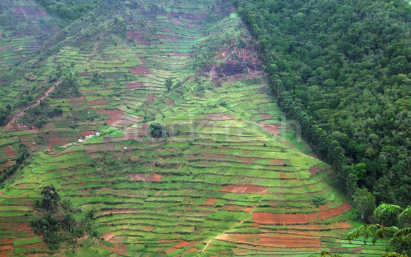 border of the Bwindi Impenetrable Forest in Uganda Stock photo © prill
