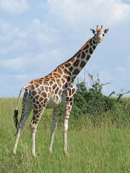 Giraffe in sunny african ambiance Stock photo © prill