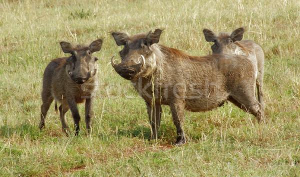 warthogs in Uganda Stock photo © prill