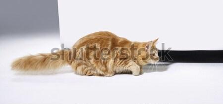 sneaking Maine Coon kitten Stock photo © prill