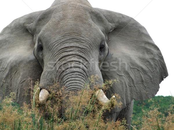 Elephant in high grassy vegetation Stock photo © prill