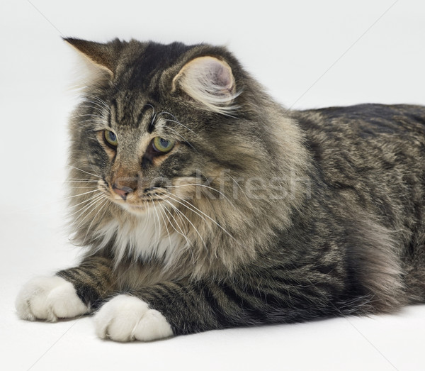 resting Norwegian Forest Cat Stock photo © prill