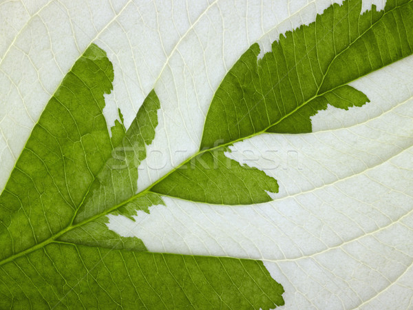 eroded leaf detail Stock photo © prill