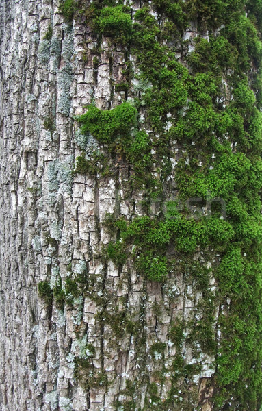 overgrown bark Stock photo © prill