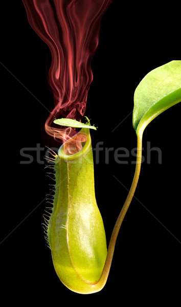 smoking pitcher plant Stock photo © prill