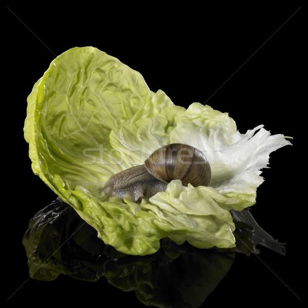 Winorośl ślimak zielone sałata liści studio Zdjęcia stock © prill