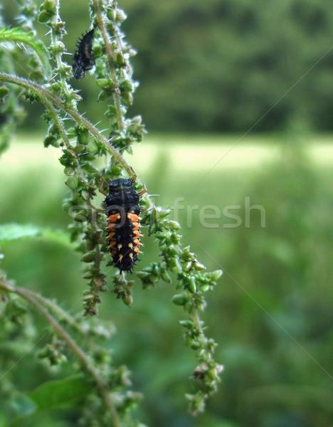 ladybeetle grub on stalk Stock photo © prill