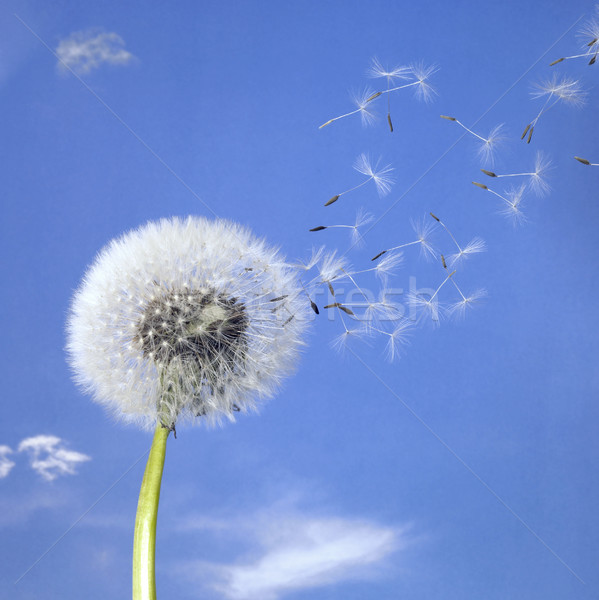 dandelion blowball and flying seeds Stock photo © prill