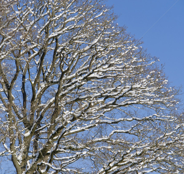 tree detail at winter time Stock photo © prill