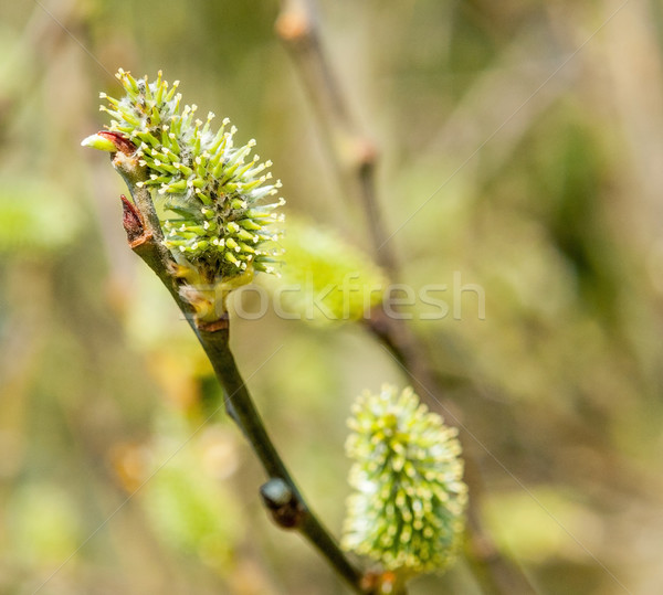 catkin closeup Stock photo © prill