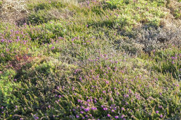 colorful heath vegetation Stock photo © prill