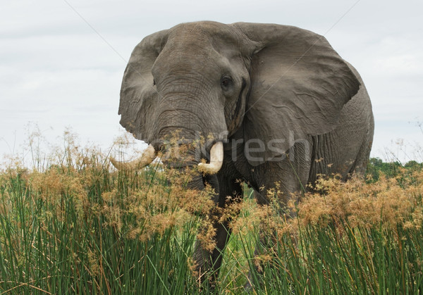 Elephant in high grass Stock photo © prill