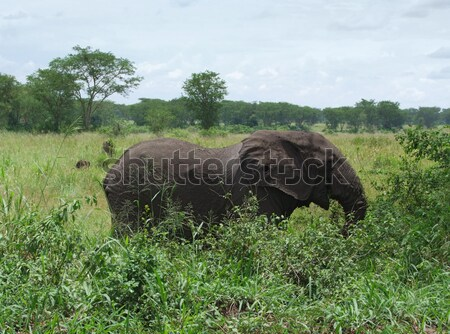 Elephant in Africa Stock photo © prill