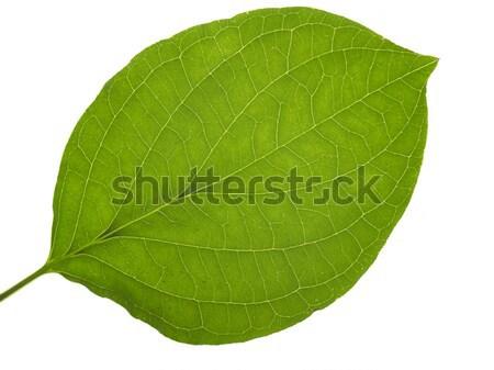 áttetsző levél zöld fehér hát absztrakt Stock fotó © prill