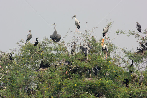 treetop and storks Stock photo © prill