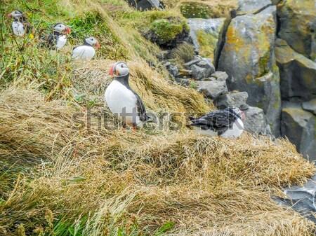 Atlantic puffin Stock photo © prill