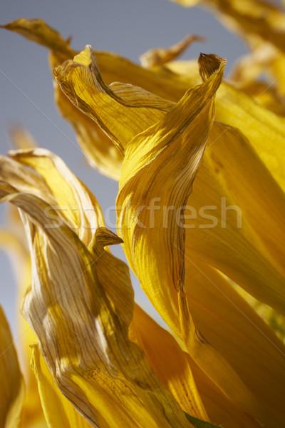 yellow sunflower petals Stock photo © prill