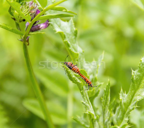 two copulating firebugs Stock photo © prill