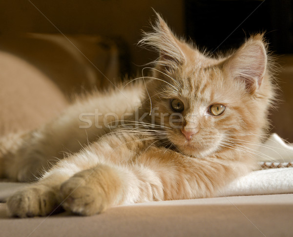 Maine Coon kitten Stock photo © prill