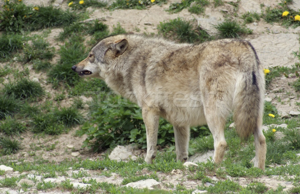 Gray Wolf standing in natural ambiance Stock photo © prill