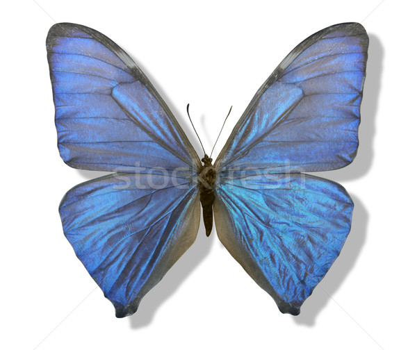 blue iridescent butterfly Stock photo © prill