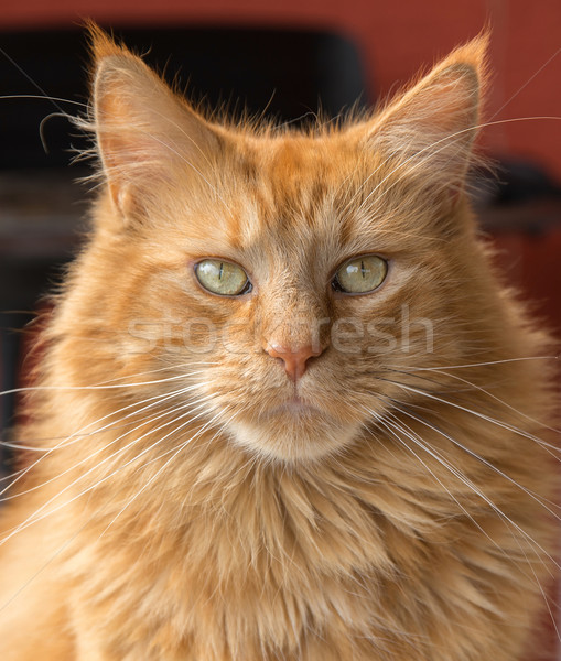 Maine Coon cat Stock photo © prill