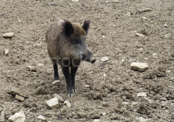 wild boar on earthy ground Stock photo © prill